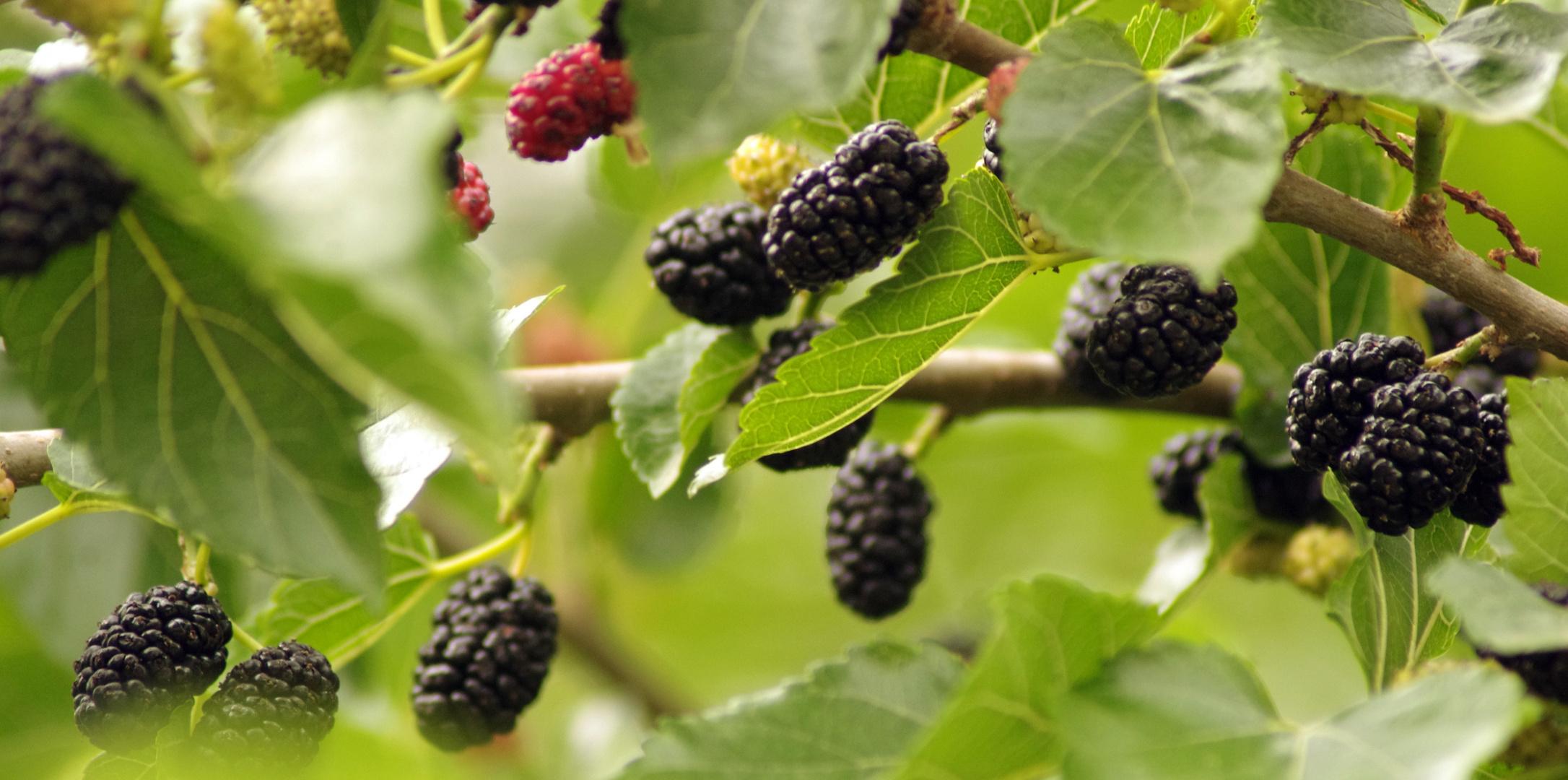 M res du m rier platane photo et image les fruits - Fruit du murier platane ...