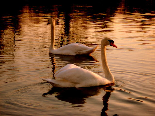 mr.&mrs. swan