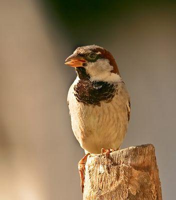 Mr.sparrow (2)