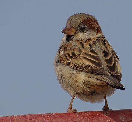MR.sparrow .3