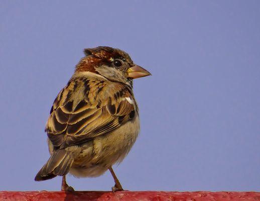 Mr.sparrow -4