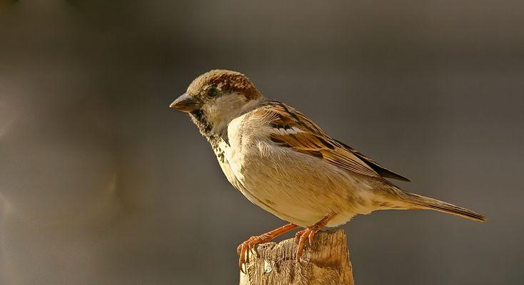 Mr.sparrow