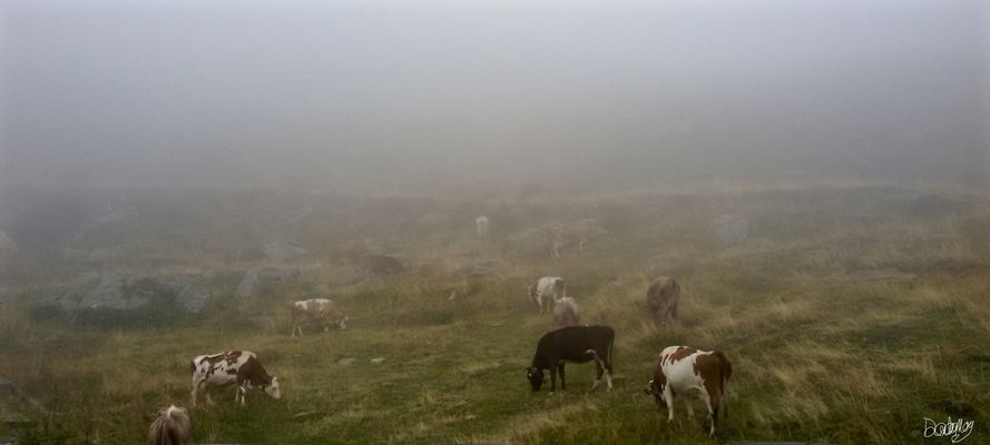 Mucche del Passo San Marco (Val Brembana)