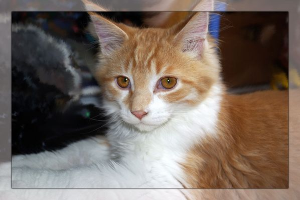 Muck, Maine Coon, 5 Monate