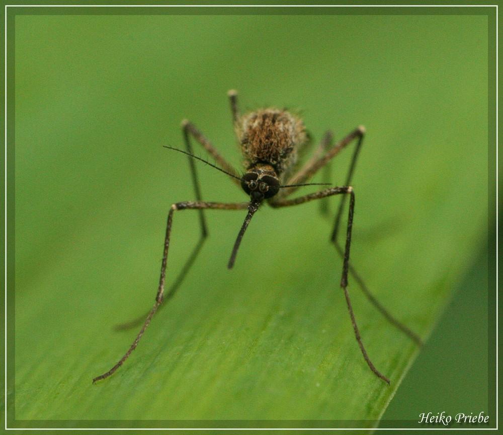 Bild Mücke