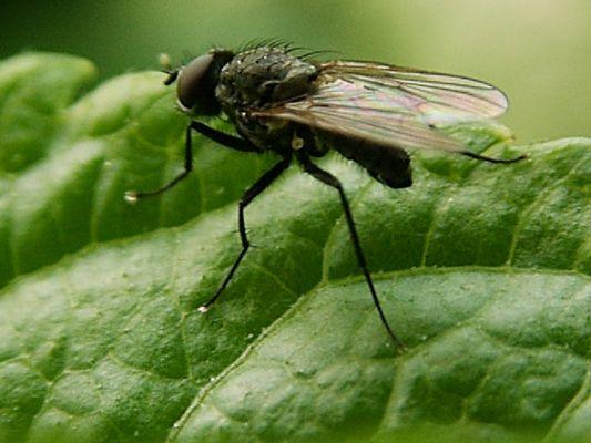 Mücke auf einem Blatt