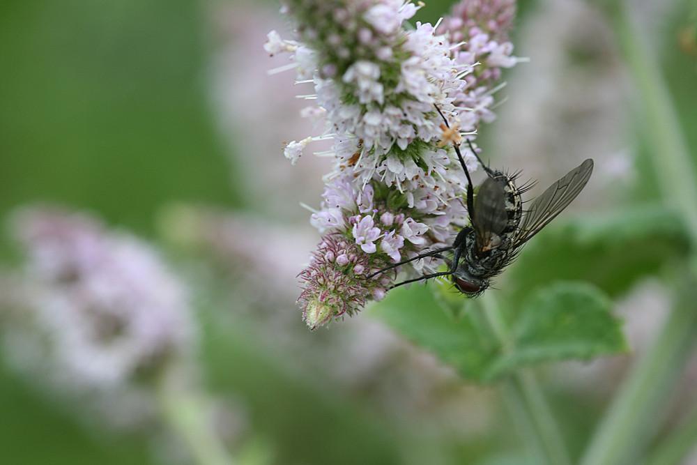 Mücke auf Pfefferminzblüte