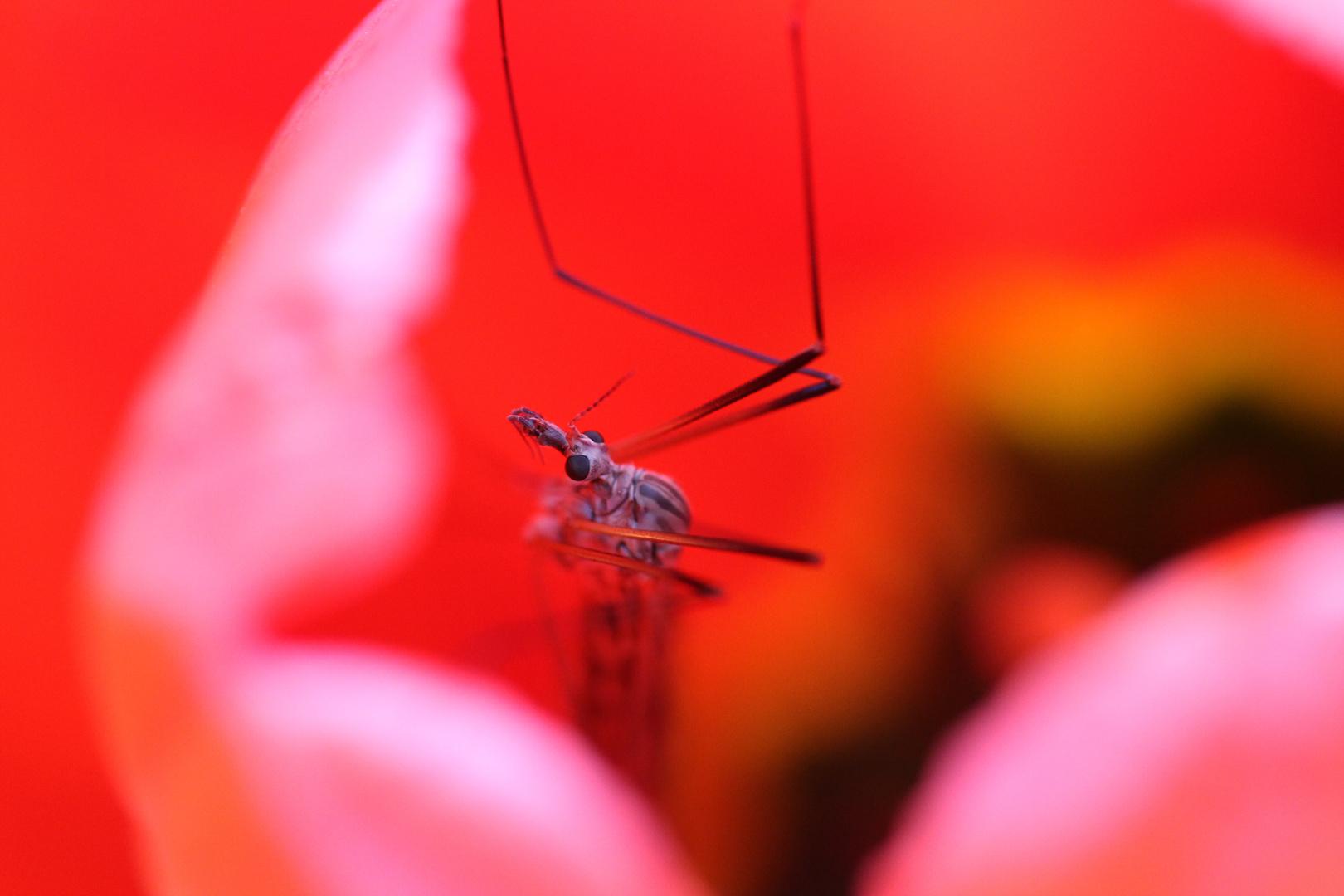 Mücke in Tulpe