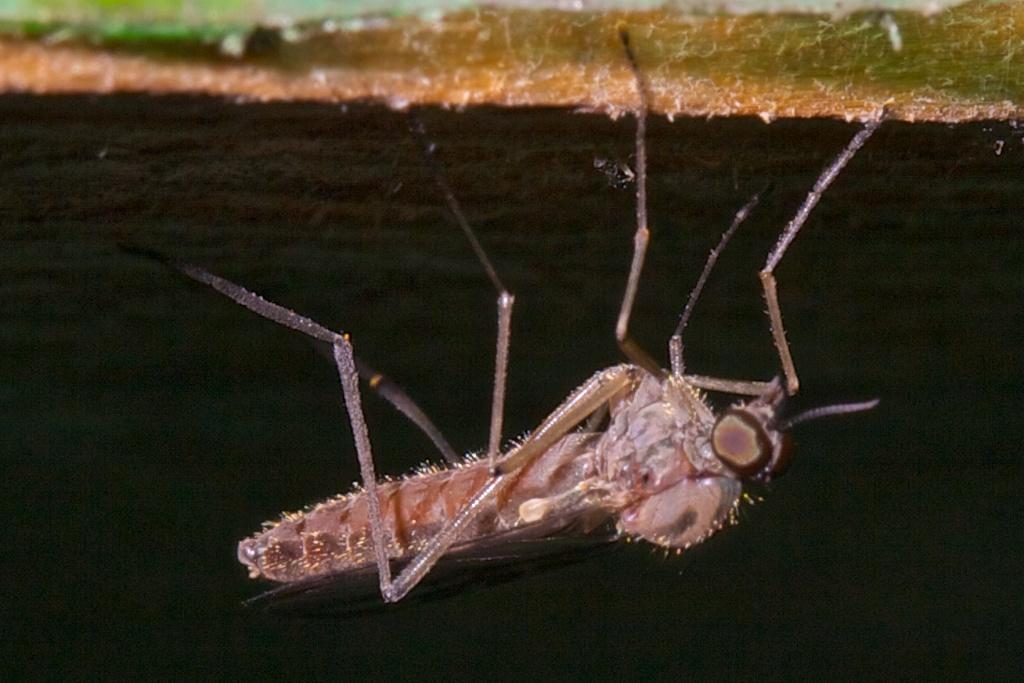 Mücke - Kopfüber