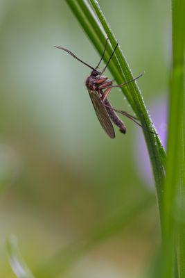 Mücke (Nematocera)