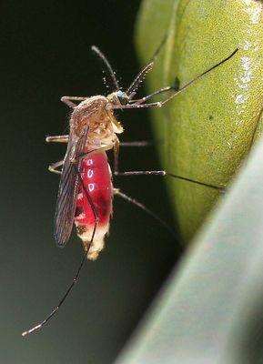 Mücke sticht Laubfrosch