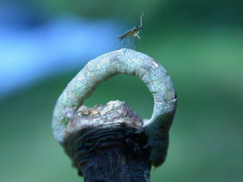 Mücke und Raupe