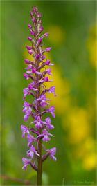 Mücken-Händelwurz (Gymnadenia conopsea).. ..