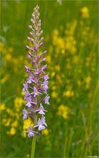 Mücken-Händelwurz (Gymnadenia conopsea) ..