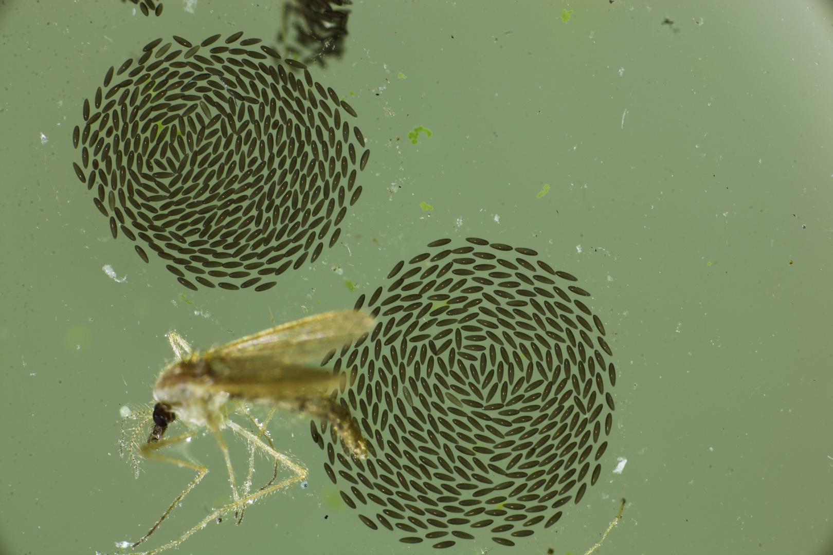 Mückeneier mit Mücke