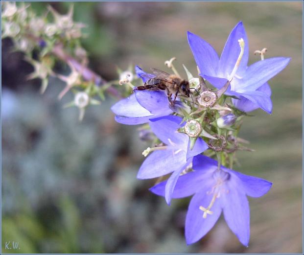 Müde Biene - Blaue Biene ??