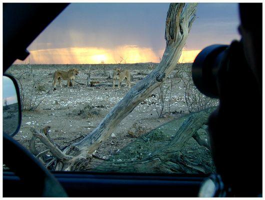 Müde Löwen in der Abenddämmerung ...