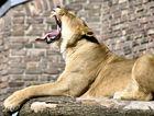 Müde Löwin