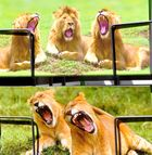 Müde Wangener Löwen