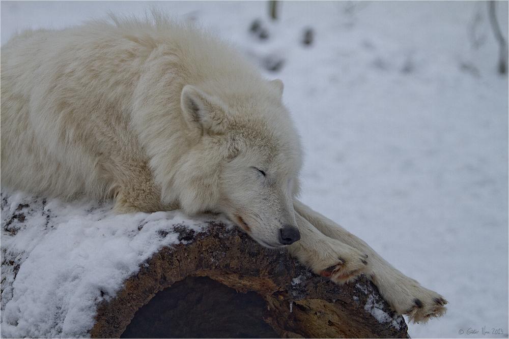 Müder einsamer Wolf