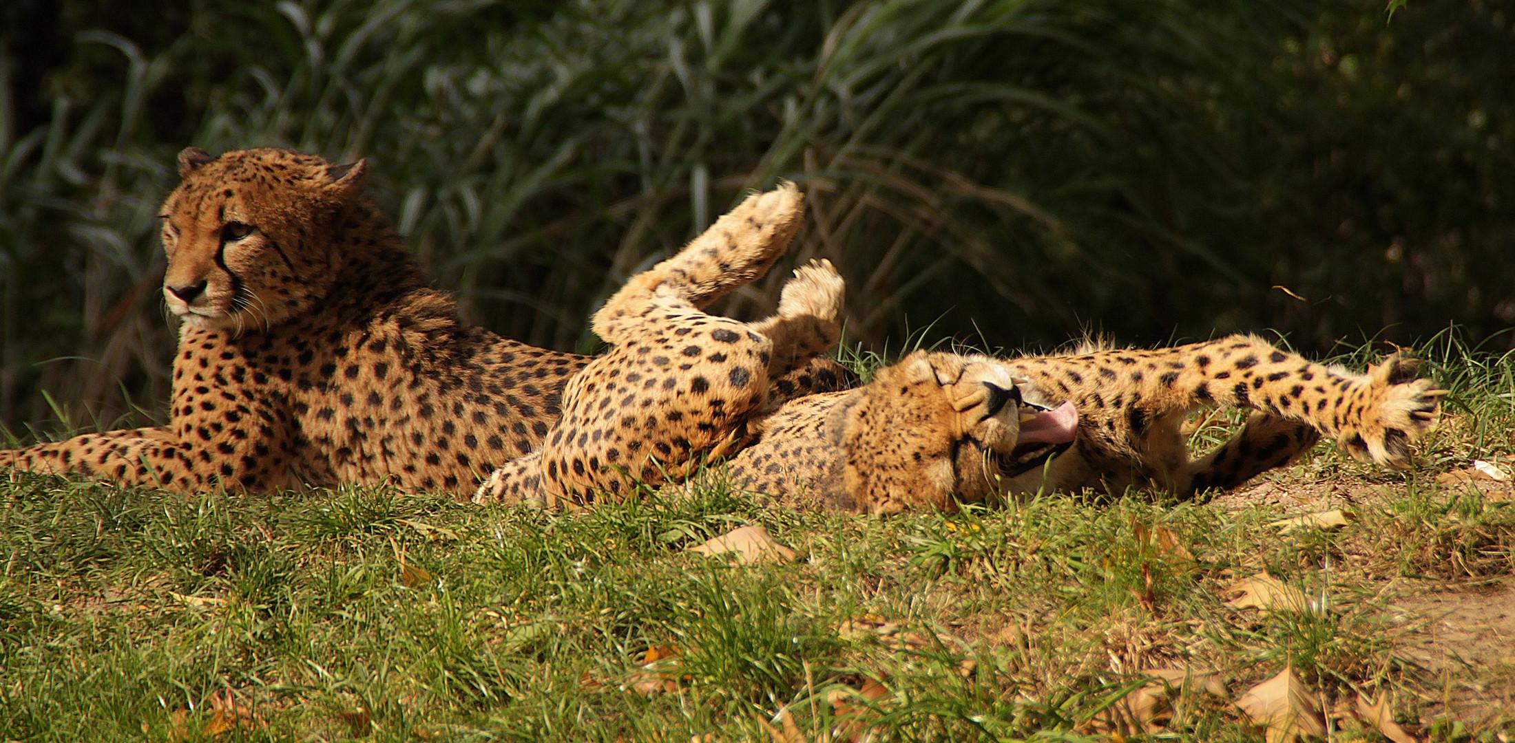 müder Gepard