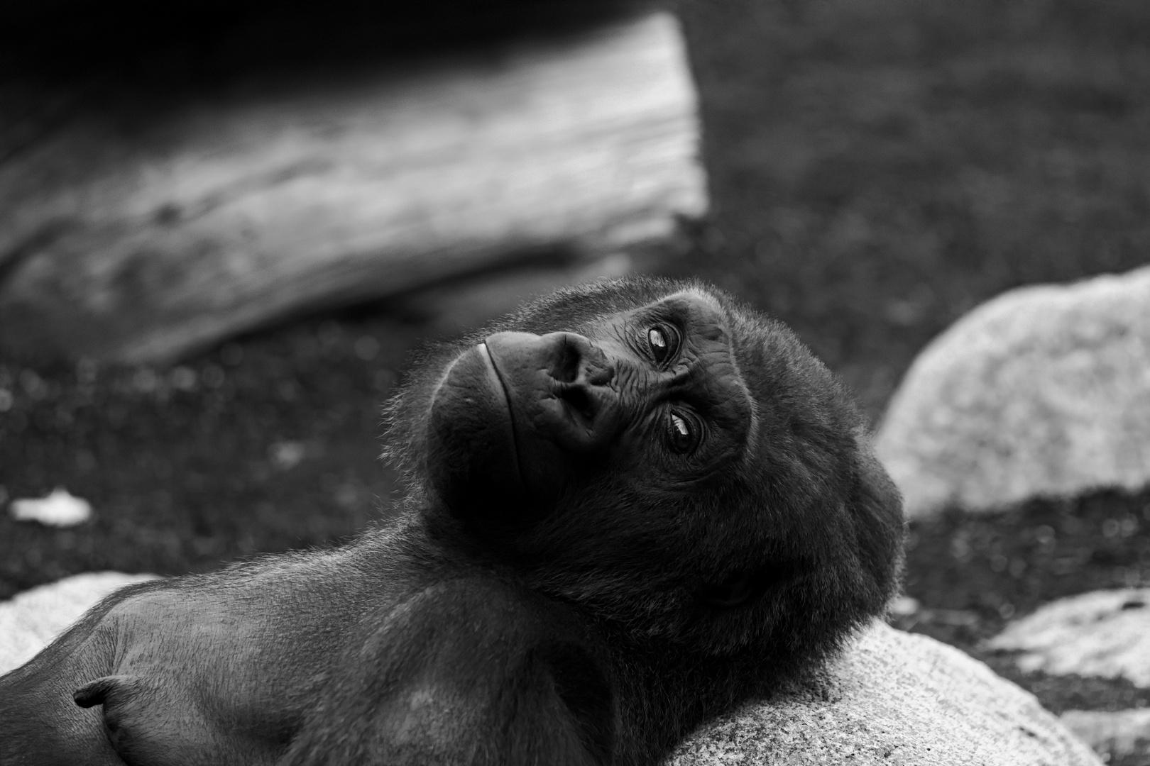 müder Gorilla