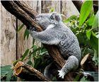 Müder Koala