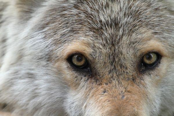 Müder Wolf