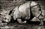 Müdes, kleines Nashorn