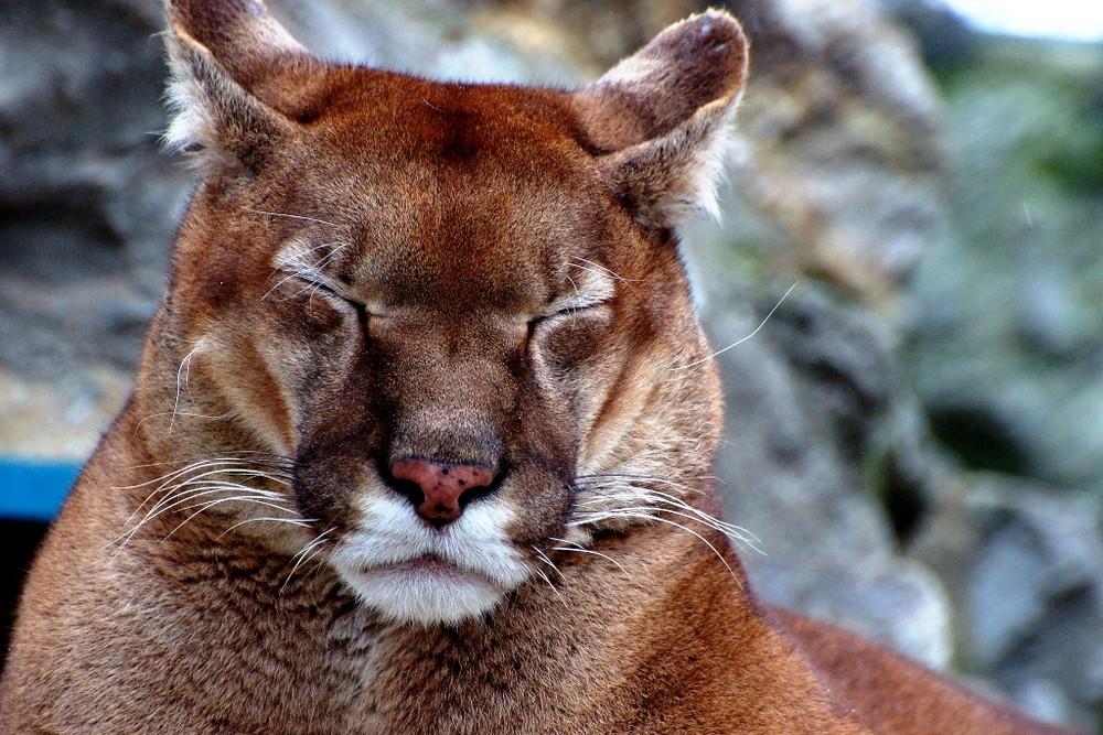 Müdes Puma
