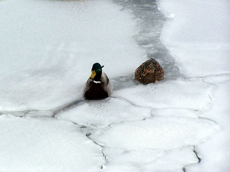 Mühsam quälen sich Enten...