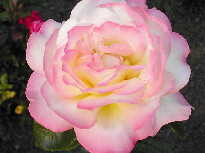 Münsteraner Rose