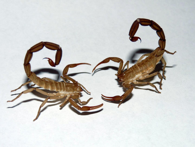 Mues de scorpions