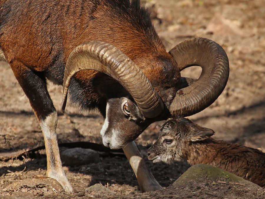 Muffel-Osterlamm