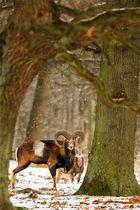 Muffelwild trotzt dem Winterwetter