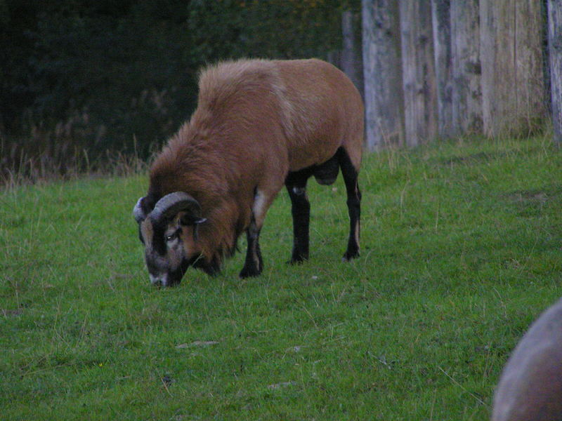 Mufflon Bock