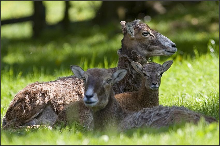 mufflon familie