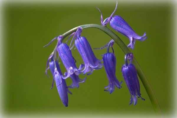 Muguet bleu ou jacinthe des bois