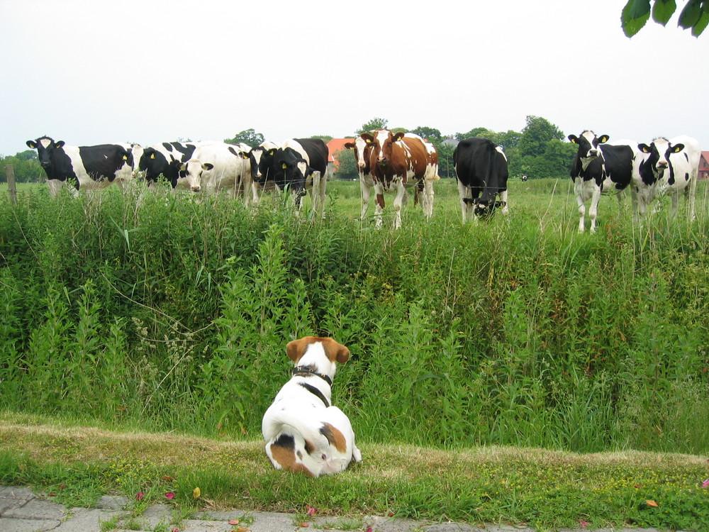 Muh ihr Kühe...