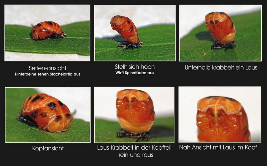 Mumienpuppe eines Marienkäfers