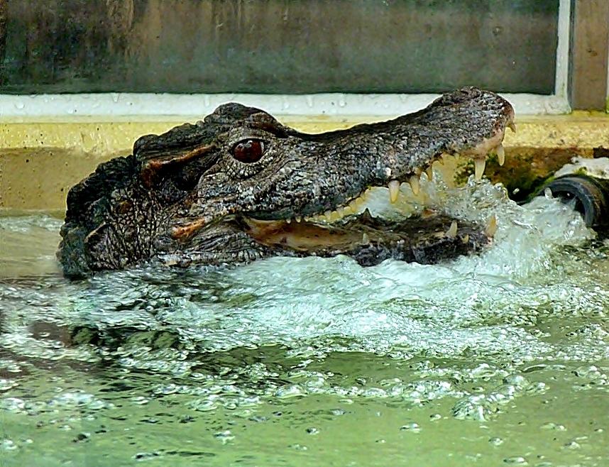 Munddusche für Krokodile.