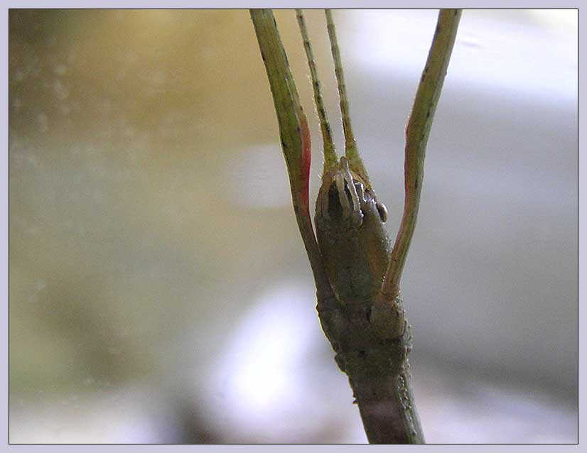 Mundwerkzeuge einer Stabheuschrecke