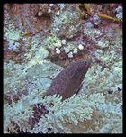Muräne am Elphinstone Riff
