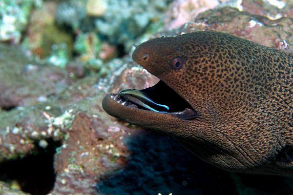 Muräne mit Putzerfisch
