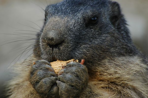 Murmeli (Marmota)