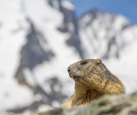 Murmeltier (Marmota marmota) IMG_3109