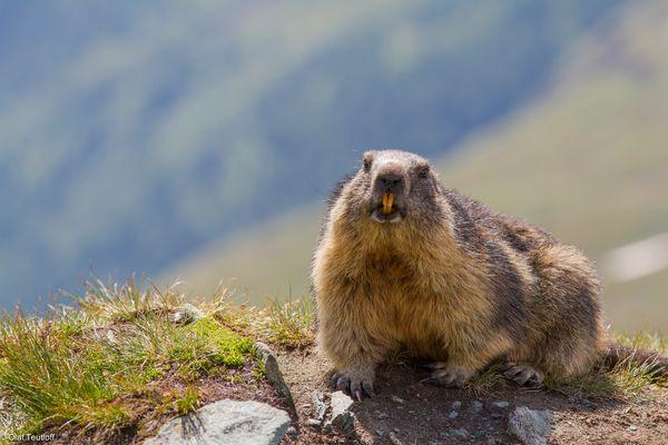 Murmeltier (Marmota marmota) IMG_3165