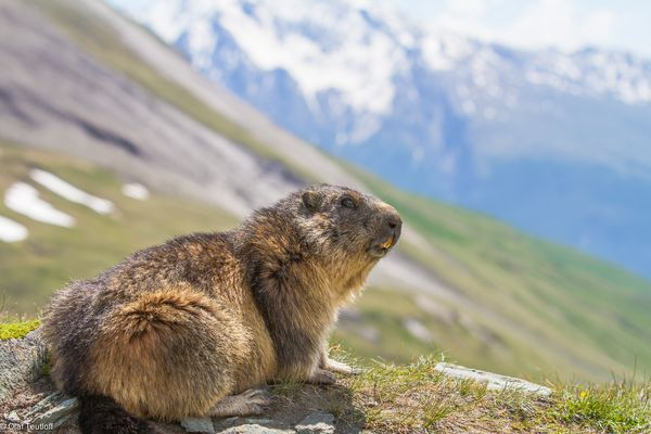 Murmeltier (Marmota marmota) IMG_3350