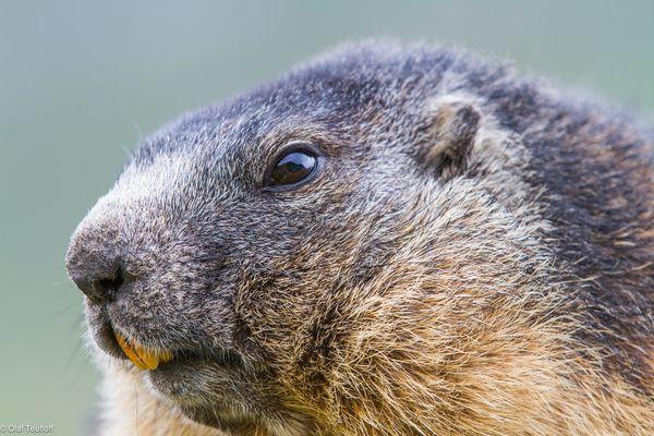 Murmeltier (Marmota marmota) IMG_3908