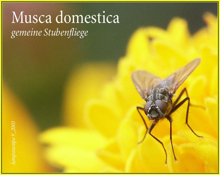 Musca domestica - gemeine Stubenfliege